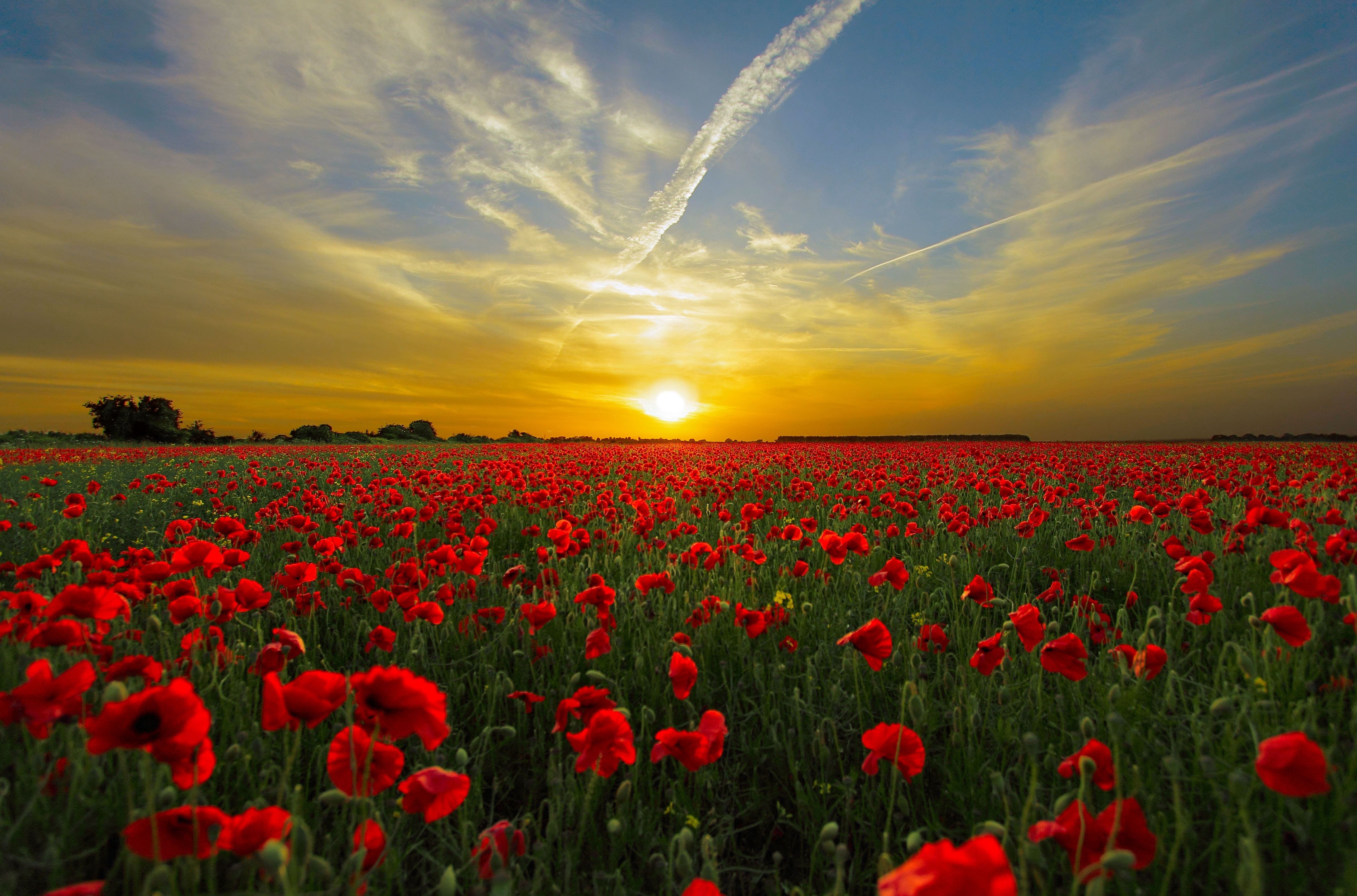 A poppy field in the sunset